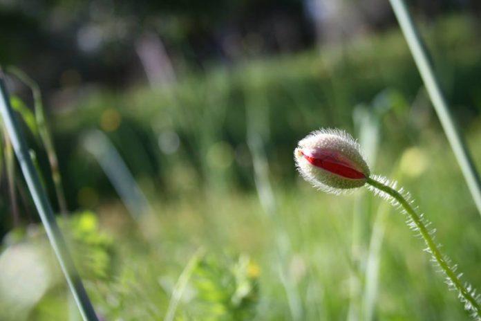 papavero permacultura sara