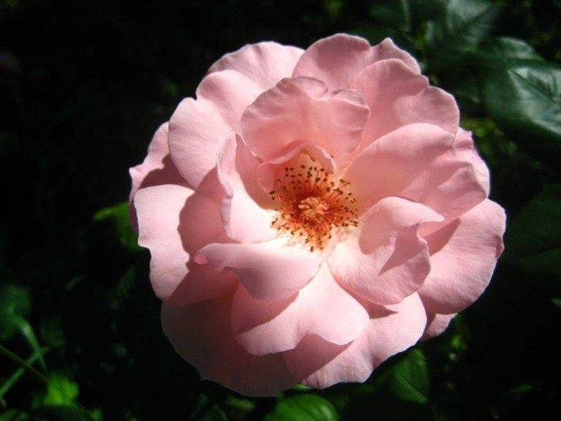 """Una rosa è una rosa è una rosa"""