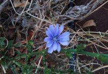 fiore cicoria permacultura