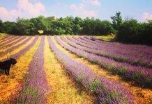 Poggio-delle-Piume-campo-di-lavanda-in-fiore