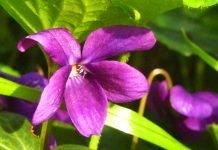 Viola farfalla sara elke carozzo