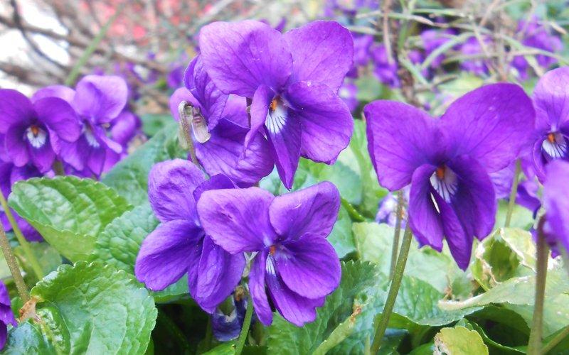 Viola odorosa sara elke carozzo