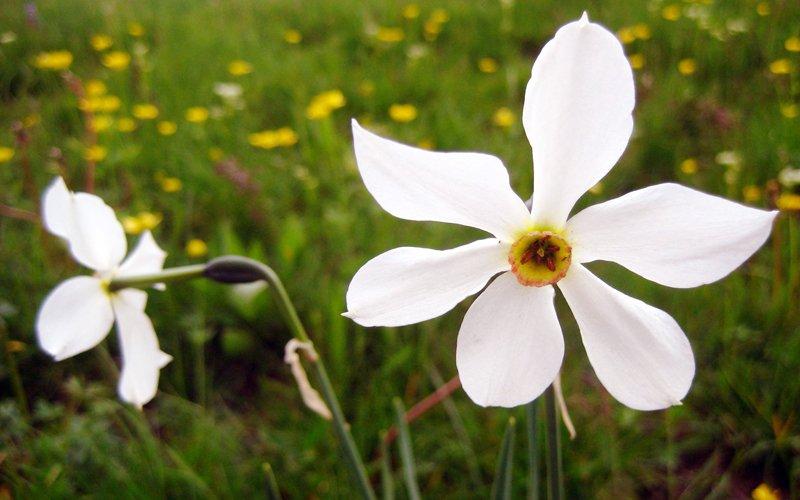 Narcissus poeticus sara elke carozzo