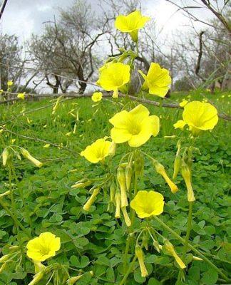 Oxalis pes-caprae acetosella gialla
