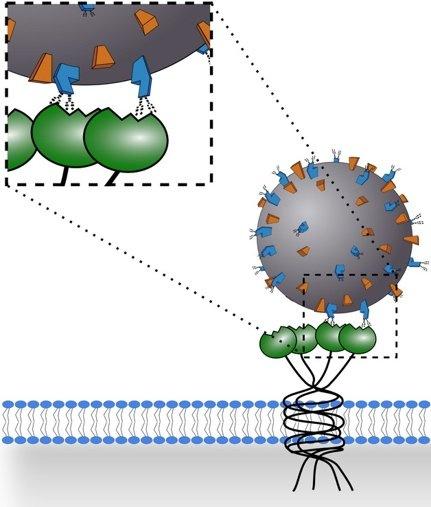 lectina mannosio coronavirus